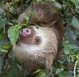 Two-toed sloth. Hoffmann`s two-toed sloth Choloepus hoffmanni eating leaves royalty free stock photos