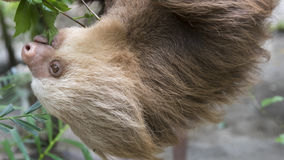 Two-toed sloth Royalty Free Stock Photo