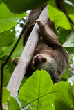 Two-toed sloth. Between leaves in Costa Rica Royalty Free Stock Photo
