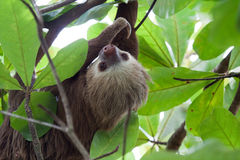Two toed sloth. Two toed sloth between the leaves in Costa Rica Stock Photography