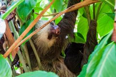 Two-toed sloth with an offspring in a forest near La Fortuna village, Costa Ri. Ca royalty free stock photo