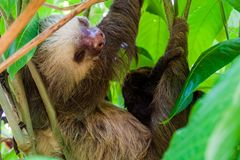 Two-toed sloth with an offspring in a forest near La Fortuna village, Costa Ri. Ca royalty free stock photography