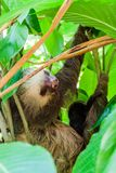 Two-toed sloth with an offspring in a forest near La Fortuna village, Costa Ri. Ca stock photo