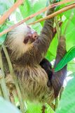 Two-toed sloth with an offspring in a forest near La Fortuna village, Costa Ri. Ca stock photography
