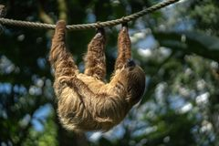 Two-toed Sloth sleeping royalty free stock images