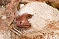 Two-toed sloth sleeping in tree Royalty Free Stock Photography