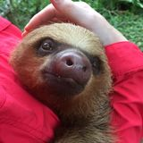 Two-Toed Sloth Smiles in Peru Rainforest choloepus hoffmanni. This adorable two-toed sloth smiles at the camera as he gets a hug and a tickle under his furry Stock Photos