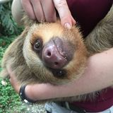 Two-Toed Sloth Smiles in Peru Rainforest choloepus hoffmanni. This adorable two-toed sloth smiles at the camera as he gets a hug and a tickle under his furry Royalty Free Stock Photography