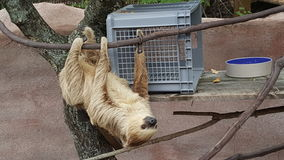 Two toed sloth stock photos