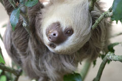 Two toed sloth in a tree stock photo
