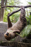 Two-toed sloth on the tree eating lentils Royalty Free Stock Images
