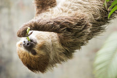 Two-toed sloth on the tree eating lentils Royalty Free Stock Photography
