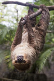 Two-toed sloth on the tree Stock Photography