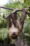 Two-toed sloth on the tree Royalty Free Stock Photo
