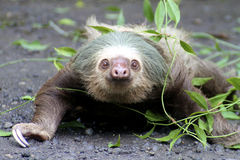 Two-toed sloth with vine Stock Image
