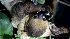 Two-toed sloths Royalty Free Stock Image