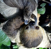 Two-toed sloths Royalty Free Stock Photography