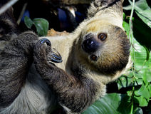 Two-toed sloths Stock Images