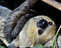 Two-toed sloths Stock Photo