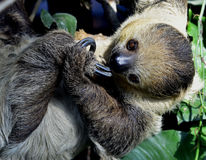 Two-toed sloths Royalty Free Stock Photo