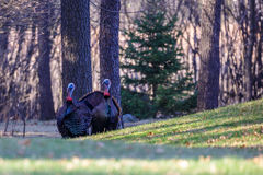 Two Tom Turkeys Royalty Free Stock Image