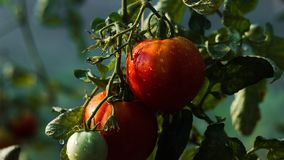 Two tomato with water droplets royalty free stock images
