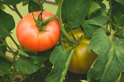 Two tomatoes red and yellow on a branch. Two tomatoes green and red hang on a branch in leaves Stock Photos