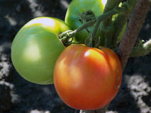 Two tomatoes Stock Photography