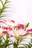 Two tone asian lily Stock Image