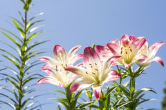 Two tone asian lily Royalty Free Stock Photography