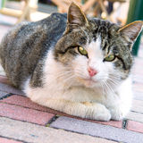 A two tone cat sitting on pavement in japan. Royalty Free Stock Image