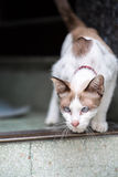 A two tone cat walking down of concrete stairs. Cat walking down of concrete stairs Royalty Free Stock Images