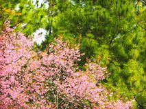 Two tone: Cherry blossom & Pine tree. The cherry blossom planted on Doi Inthanon national park among pine trees Stock Photos