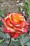 Two-tone Colombian rose. In Russia is called the circus royalty free stock photo
