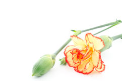 Two tone color carnation Royalty Free Stock Photos