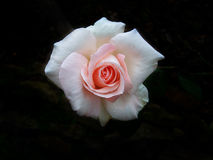 Two tone color rose on dark background Royalty Free Stock Image
