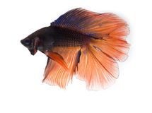 Two tone color siamese fighting fish , betta isolated on white b Royalty Free Stock Photo