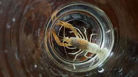 Two-tone crayfish in aquarium. This is two-tone crayfish in aquarium Royalty Free Stock Photography