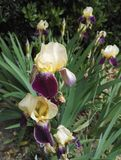 Two tone flower garden iris purple and pale yellow royalty free stock photo