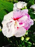 Two tone hibiscus. Rareness blossem , an with and violet flower in my garden Stock Images