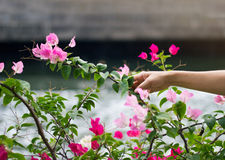 Two tone pink and red falling bougainvillea flower in hand stock image