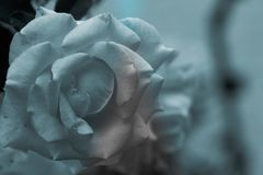 two-tone pink and yellow rose flower on blue and white veil stock photos