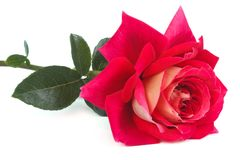 Two-tone pink and yellow rose  Stock Photos