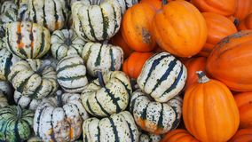 Two-tone pumpkins of a farm royalty free stock image