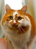 Two-tone red and white spotted cat Royalty Free Stock Photo
