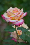 Two tone rose in bloom Royalty Free Stock Photos