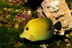 Two tone Tang Fish. Twotone or Scopas Tang (Zebrasoma scopas) Fish in Aquarium Royalty Free Stock Images
