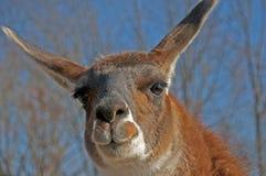 A two-toned llama stares at the camera. Royalty Free Stock Photo