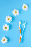 Two toothbrushes for couple and chamomile flowers on a blue background. Royalty Free Stock Photography