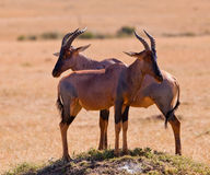 Two Topi Antelope friends. This two Topi Antelopes (Damaliscus korrigum) enjoy their togetherness while taking care of the safety of their herd Stock Photo